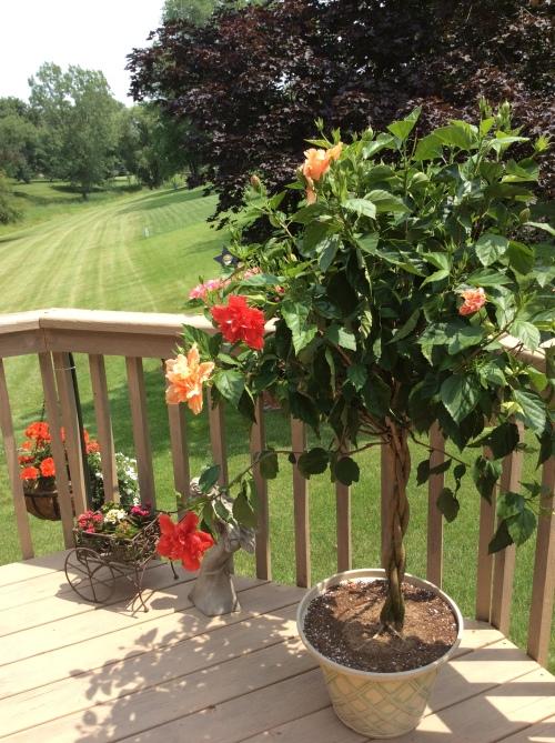 Multicolored Hibiscus Tree